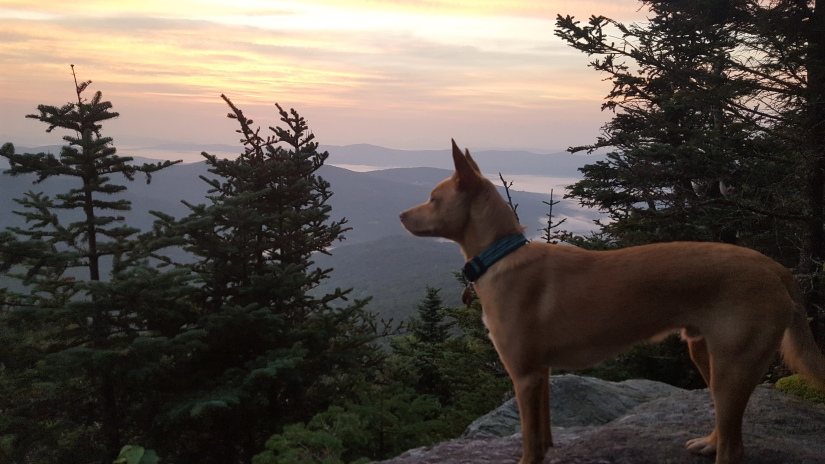 Benny the dog stands looking over a sunset at one of the shelters on the Vermont Long Trail after a day of hiking.